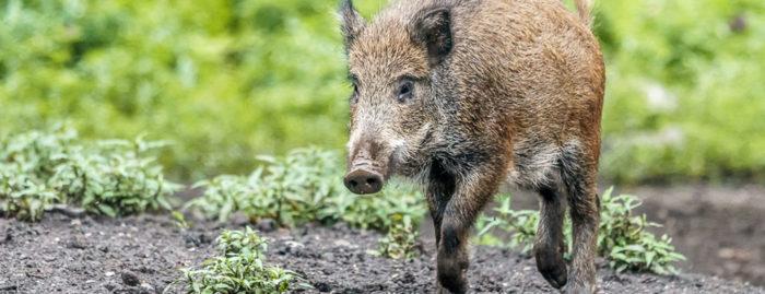 Wildschweine im Wildpark