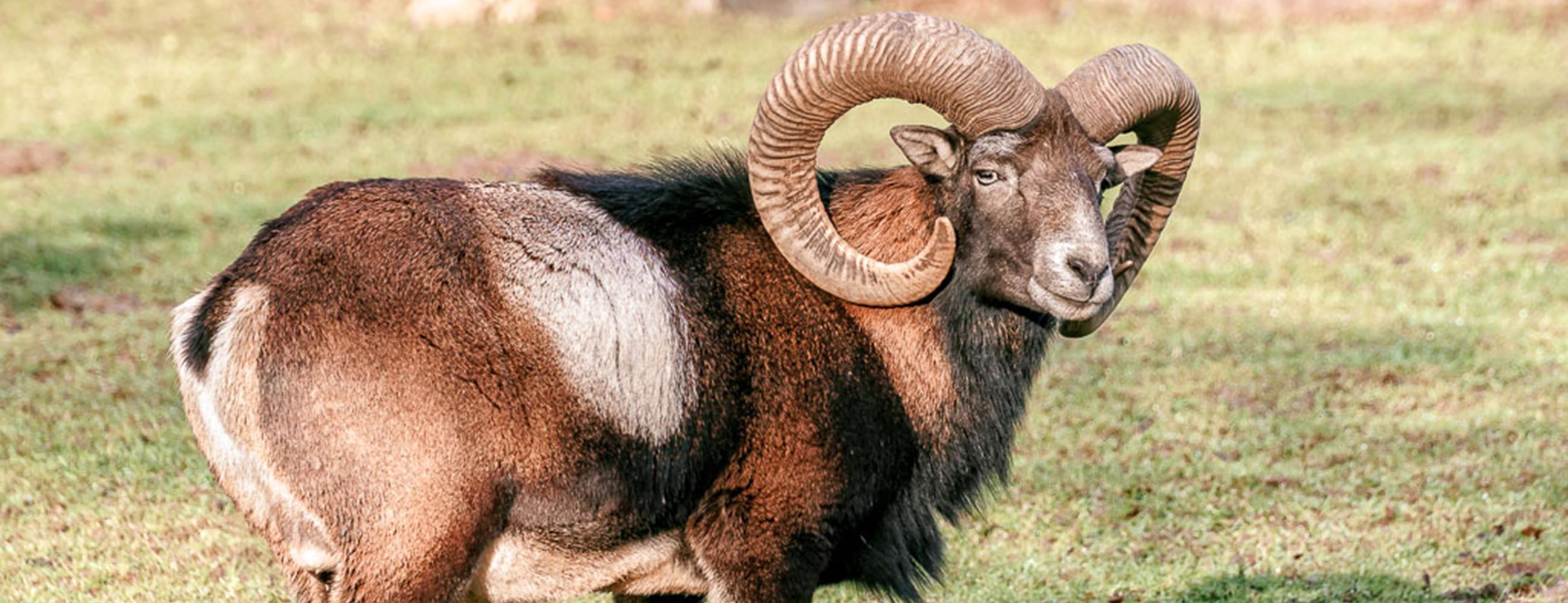 Mufflon im Wildpark
