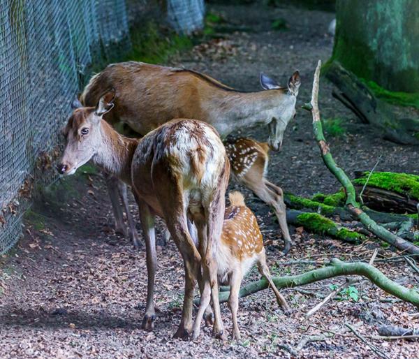 Nachwuchs im Wildpark: Rotwildkalb