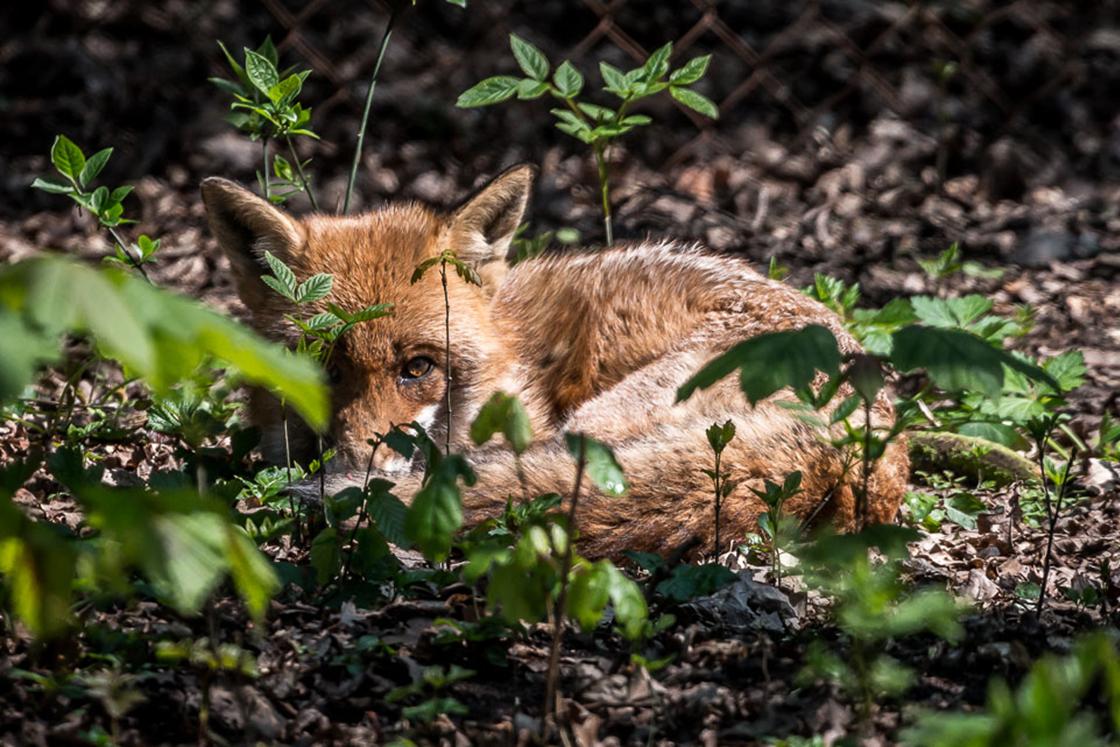 Füchse im Wildpark