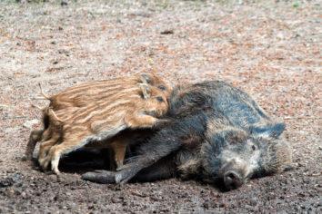 Wildschweine im Wildpark Düsseldorf