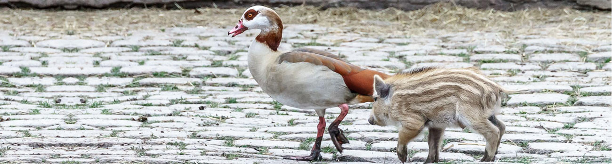 Ente mit Frischling