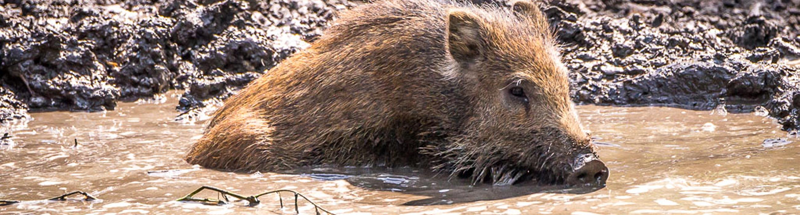 Wildschwein suhlend
