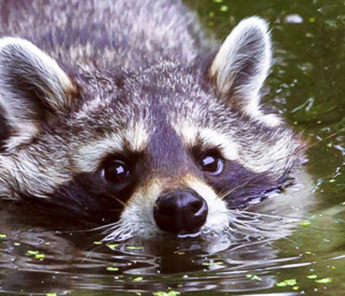 Waschbär im Flußbett